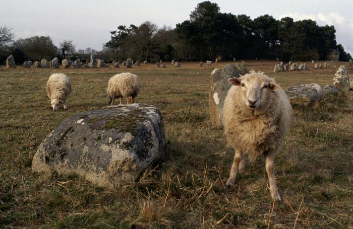 Alignements de Kermario, moutons chargés de l'entretien de la lande