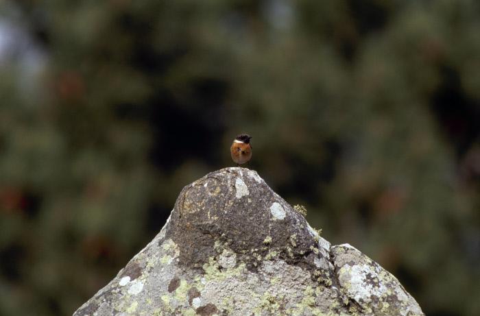 Alignements de Kermario, un Tarier pâtre sur un menhir