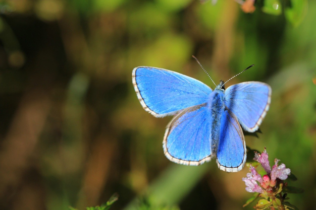 photo papillon azuré bleu céleste
