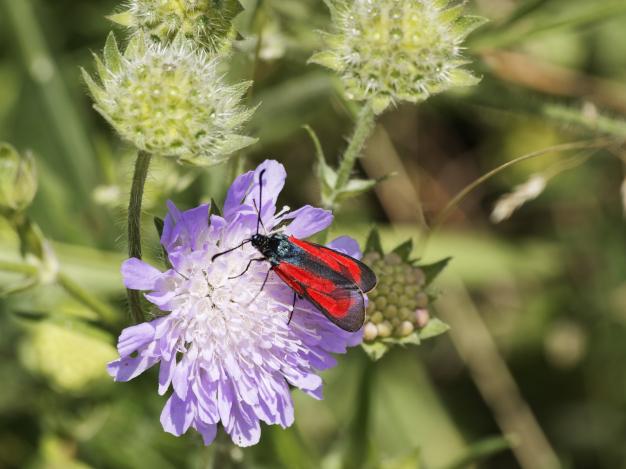 photo papillon zygène fleur